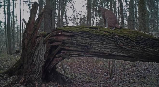 lynx_hunting1
