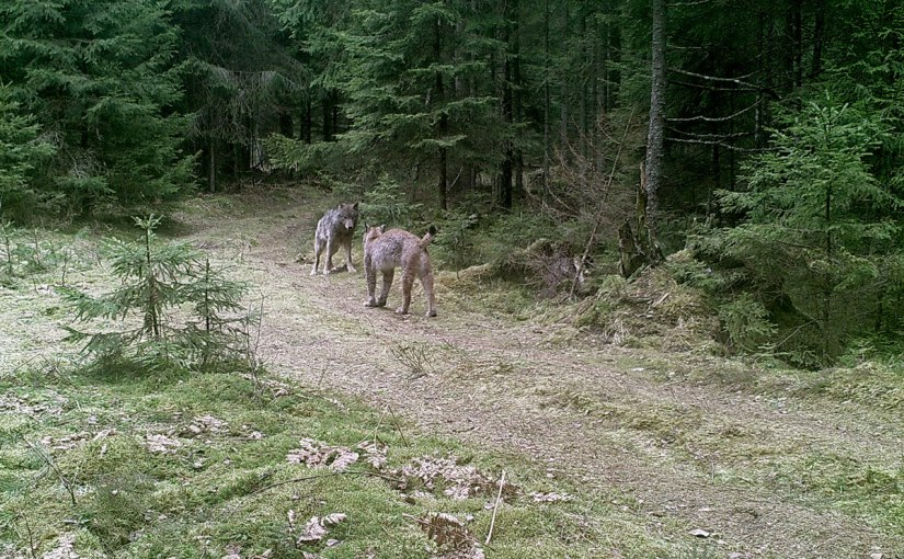 Interference competition between lynx andwolf