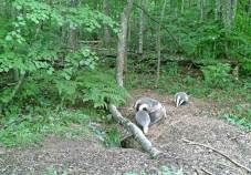 Badgers at their sett