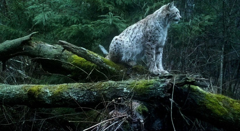 Hunting modes of lynxes in Belarus