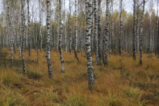 Succesional birch forest