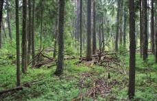 Mature spruce forest